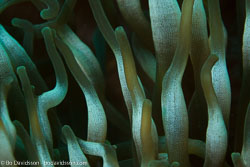 BD-161026-Pura-2989-Entacmaea-quadricolor-(Leuckart-in-Rüppell---Leuckart.-1828)-[Bubble-tip-anemone].jpg
